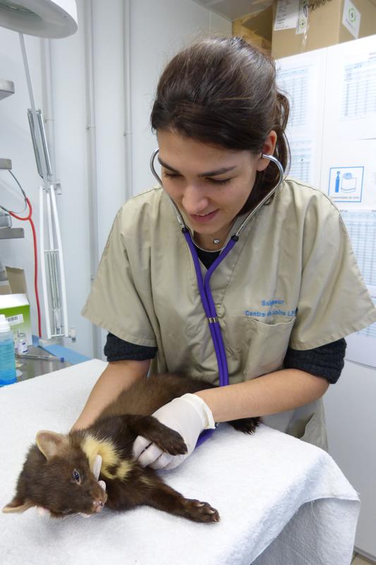 Dr Flih auscultant une martre