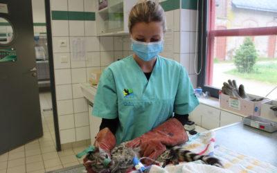 Formation soins faune sauvage pour les assistantes vétérinaires